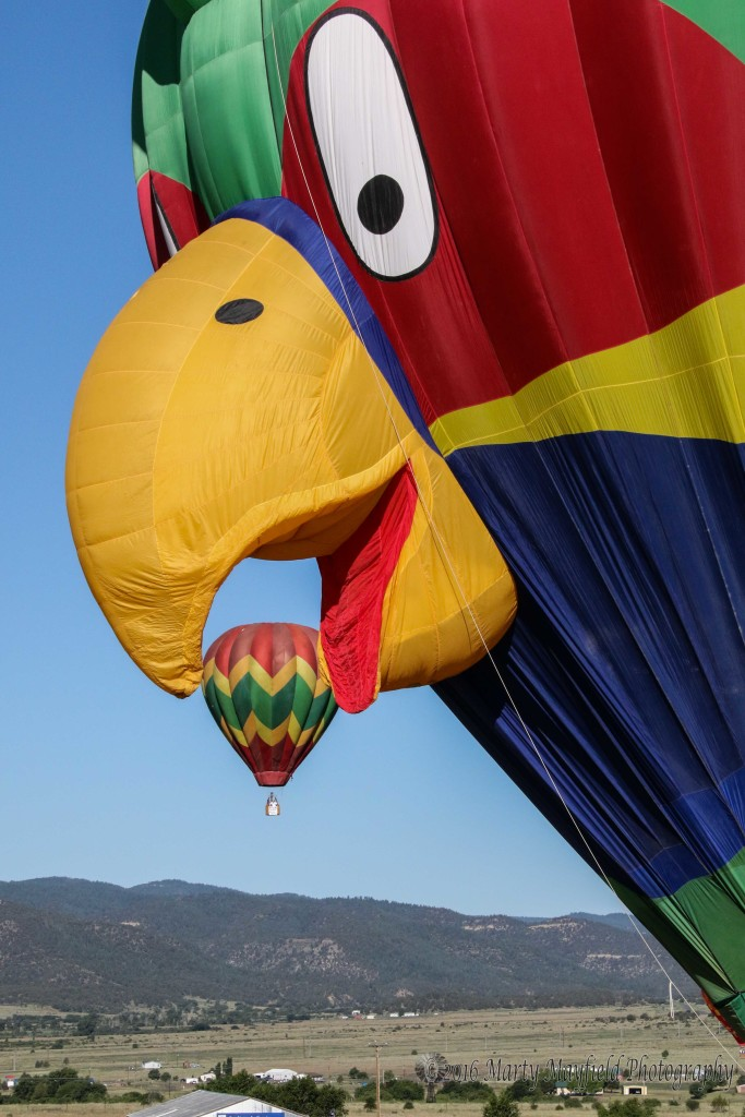 SquawkUrs makes a meal of it as Greg Garcia's balloon Good Grief finds itself in the beak.